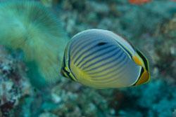 BD-150421-Maldives-7429-Chaetodon-trifasciatus.-Park.-1797-[Melon-butterflyfish].jpg